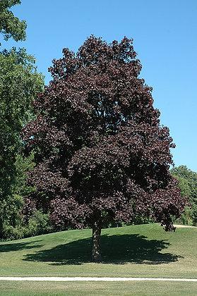 Tree Maple Crimson King 10gal 200cm #11687