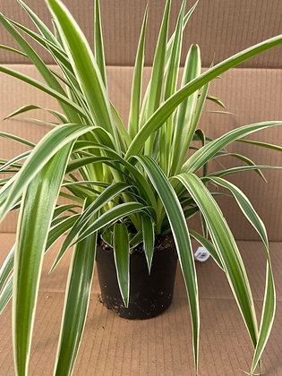 "Chlorophytum comosum 'Ocean' -  Spider Plant - 5"""