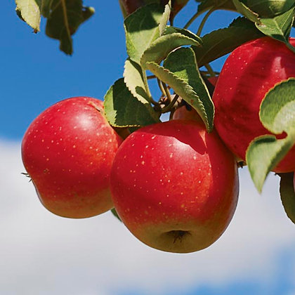 Malus 'Haralred'  -  Apple