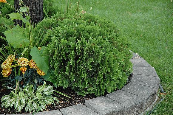 Thuja occidentalis 'Danica'  -  Globe Cedar