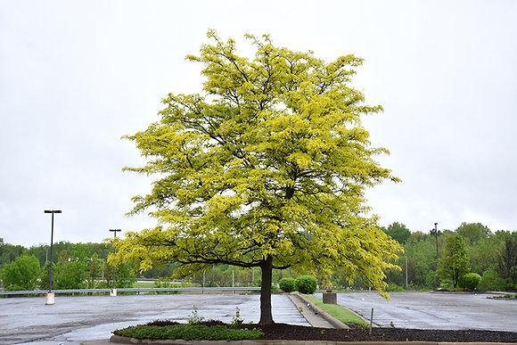 Tree Honeylocust Sunburst 15gal 250cm #27045