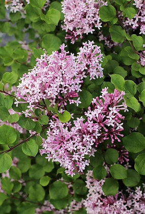 Syringa meyeri 'Palibin'  -  Lilac