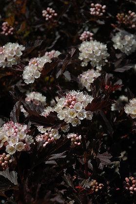 Physocarpus opulifolius 'Tiny Wine' - Ninebark