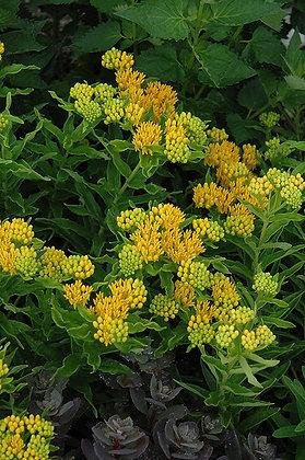 Asclepias 'Hello Yellow'  -  Milkweed 1gal
