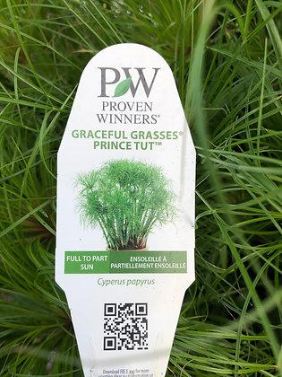 "Annual Grass Prince Tut (PW) 5.5"" Pot"