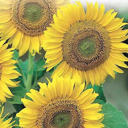Sunflower Large Seeded  -  McKenzie Seed