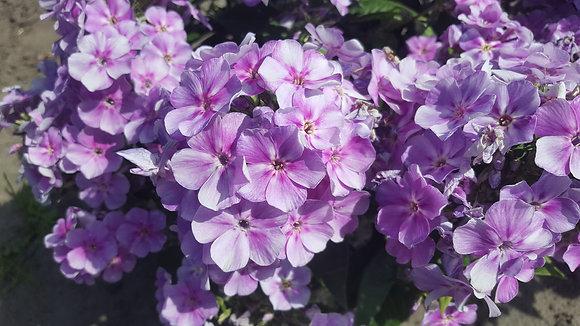 Phlox Lucky Lilac 1gal #29427