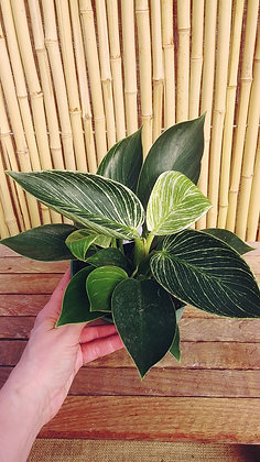 Philodendron 'White Measure'
