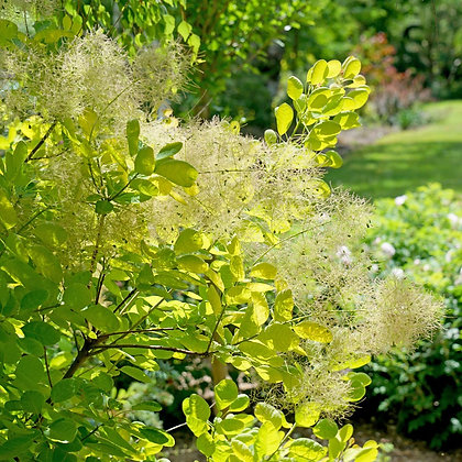 Cotinus coggygria 'Winecraft Gold' - Smokebush