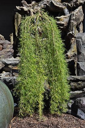 Caragana arborescens 'Walker'  -  Weeping Caragan