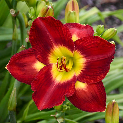 Hemerocallis 'Passion For Red' - Daylily 1 gal