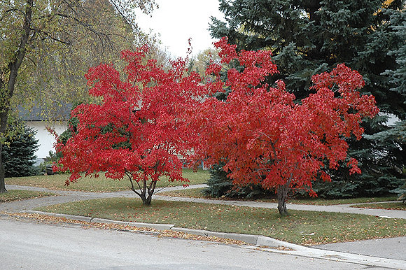Acer ginnala 'Flame'  -  Amur Maple