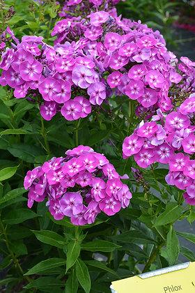 Phlox Paniculata Laura 1gal #13869