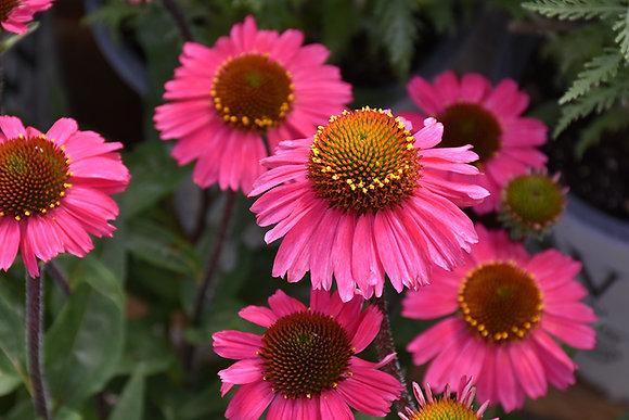 Echinacea Sensation Pink 1gal #21209