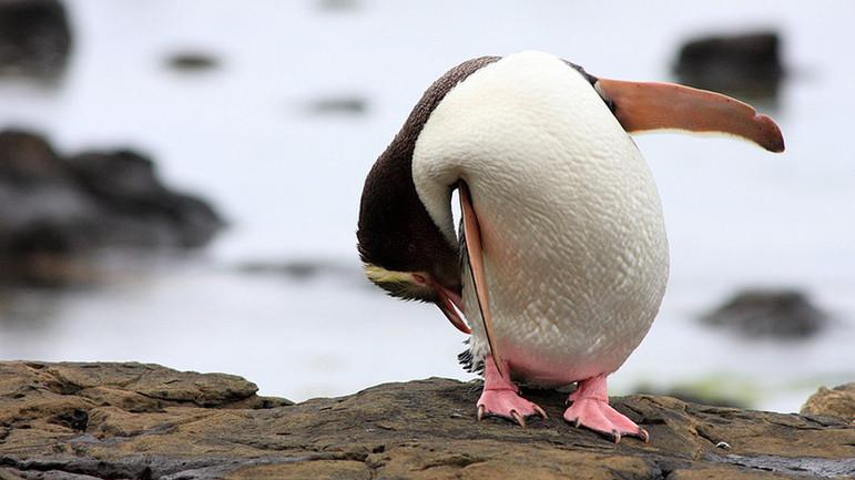 Brezilya'da ölü penguenin midesinden N95 maske çıktı