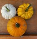 Baby Pumpkins Manitoba