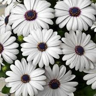 African Daisy Blue Disc Plant