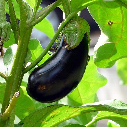 Nadia Eggplant Plant