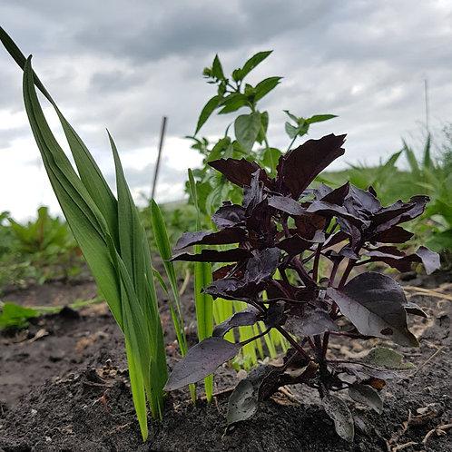 Purple Ruffle Basil