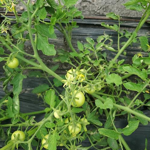 Sub Artic Maxi Tomato