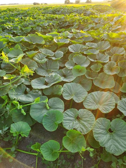 Pumpkin Patch Manitoba