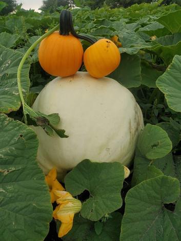 White Pumpkin Manitoba