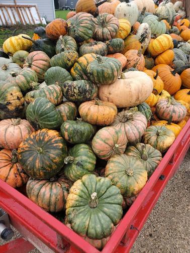 Pumpkins Manitoba