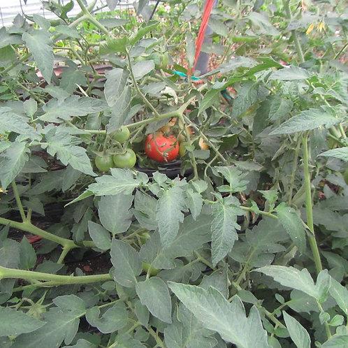 Red Deuce Tomato