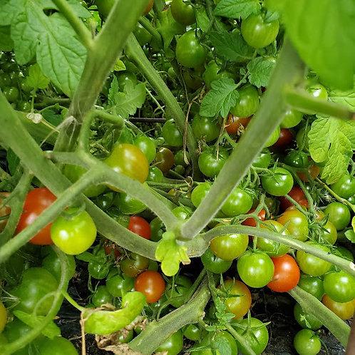 Sweet Million Tomato Plant