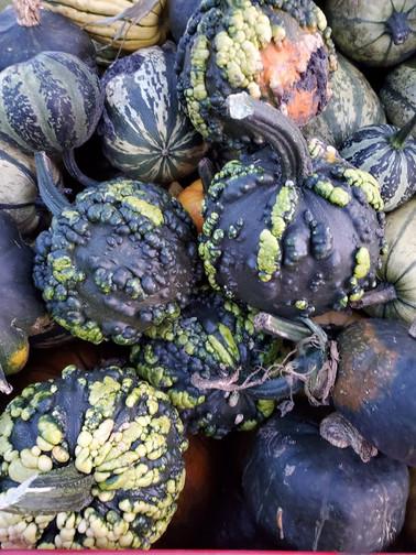 Warty Pumpkins Manitoba
