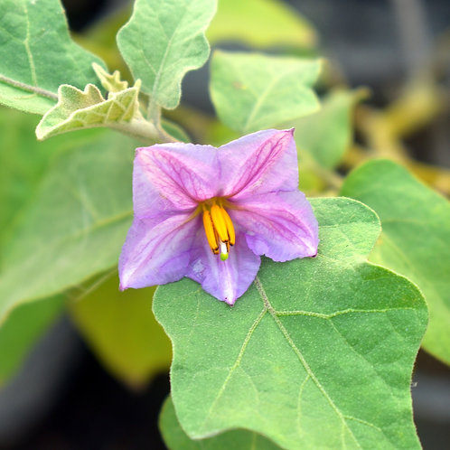 White Eggplant Plant