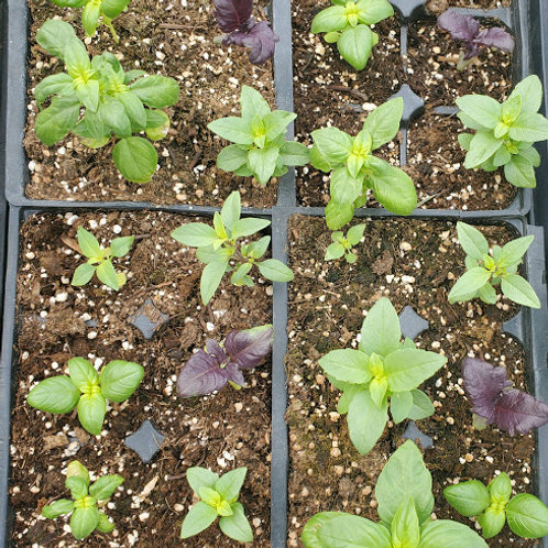 6 Pack Basil Plants