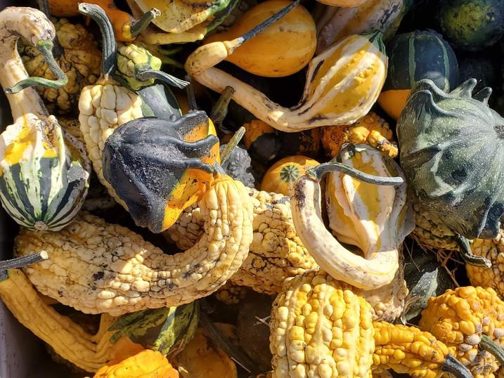 Gourds Manitoba