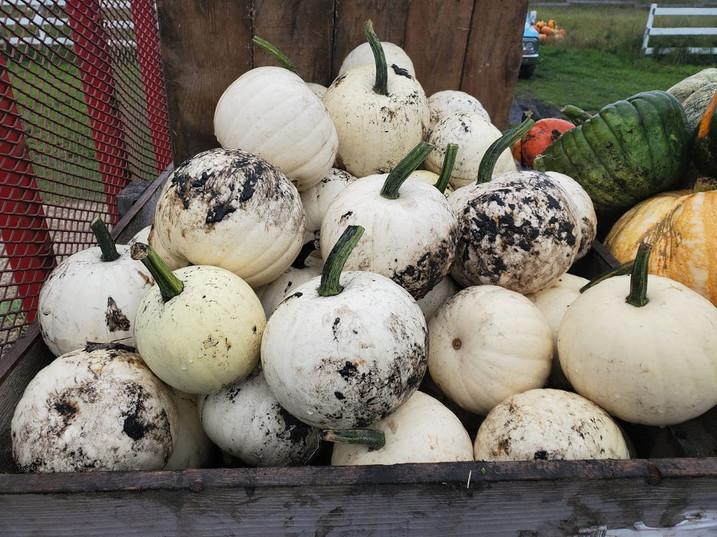 White Pumpkins Manitoba