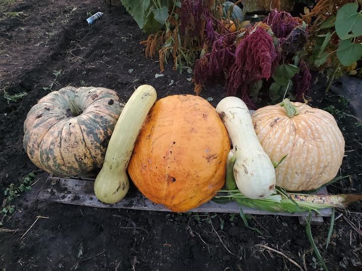 Big Pumpkins Manitoba