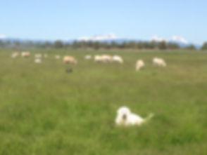 chuck-wth-sheep-north44.jpg