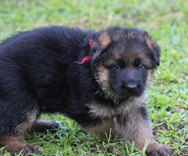 German Shepherd Puppies from Southernwind