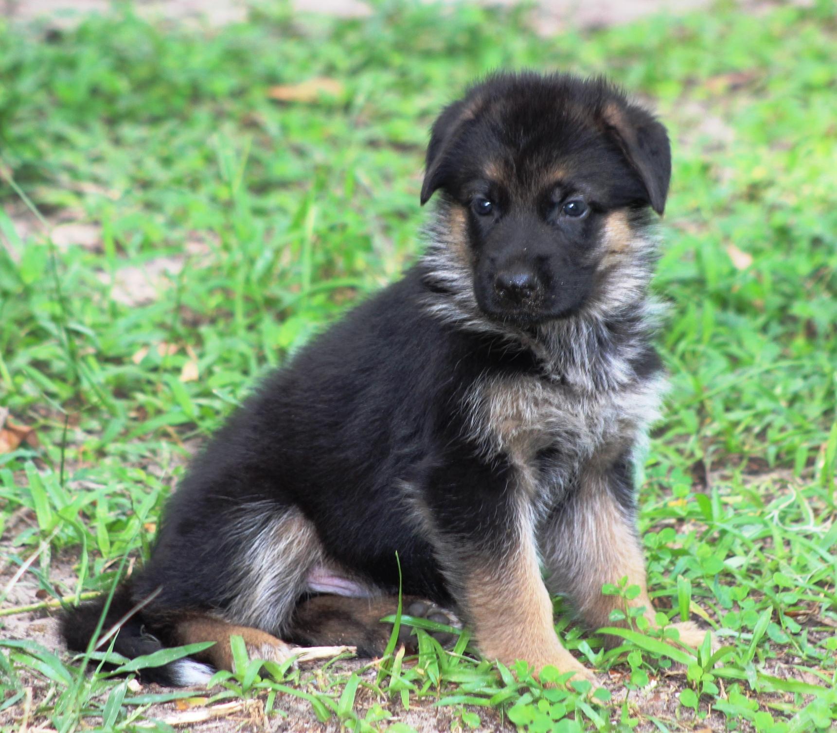 German Shepherd Breeders in Florida | Puppies | Southernwind