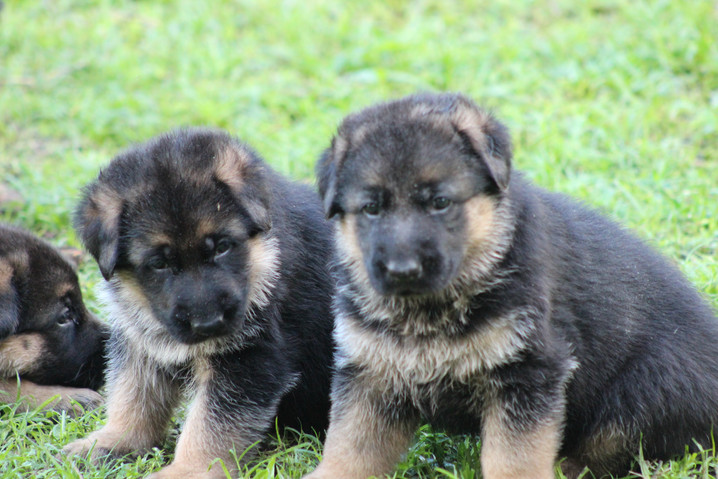 Southernwin Puppies