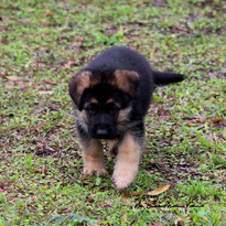 southernwind puppies