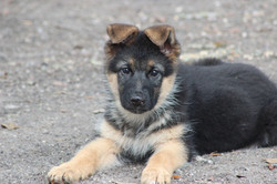 Luna-Max puppy