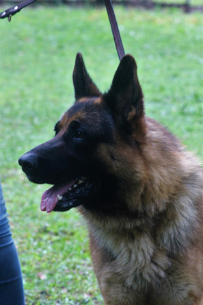 http://www.pedigreedatabase.com/german_shepherd_dog/dog.html?id=2595019-barry-di-casa-massarelli