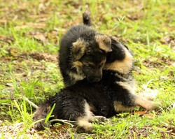 Puppies at Playtime