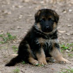 Bossa Armandia Lidderaldi Puppy