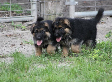 Who chooses my future puppy?