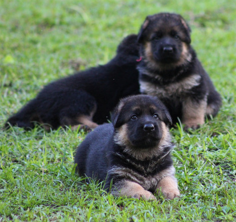 German Shepherd Puppies in Florida