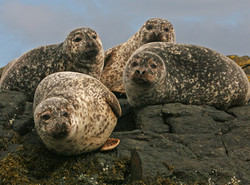 Harbour seals, Diabaig