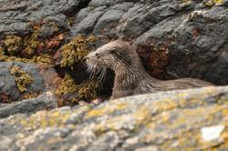 Diabaig Otter Torridon