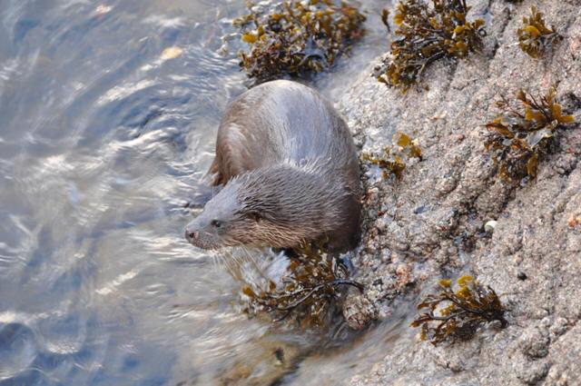 Otter, Diabaig