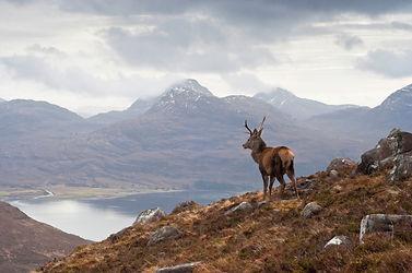 Stag,  Loch Torridon